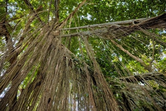 Banyan-tree-aerial-roots-in-the-Sacred-Monkey-Forest-Sanctuary-Bali.jpg