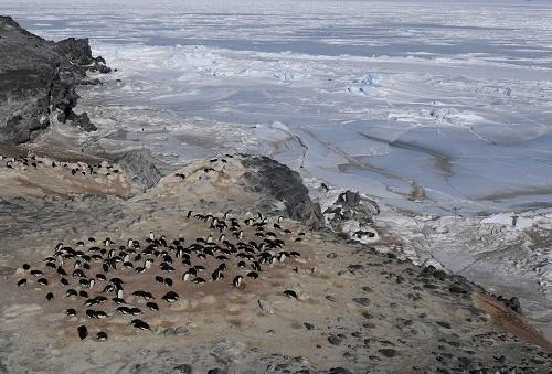 Antarctica's Adele penquins Summer 2015