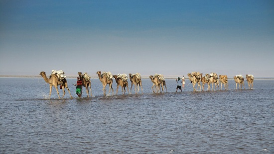 Camels, Danakil Depression, Ethiopia