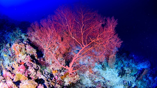 Coral in Mesophotic Zone