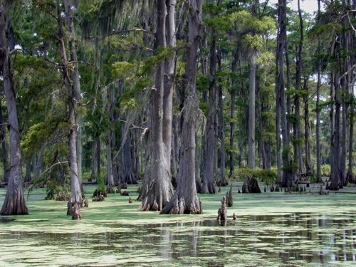 The Arctic looked like this 56 million years ago – modern Baldcypress Swamp in Louisiana. Photo by Jan Kronsell CC BY-SA 3.0