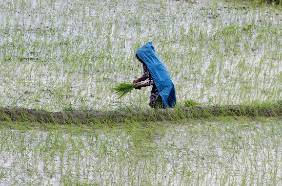 Farmer Planting Rice Seedlings in Nepal