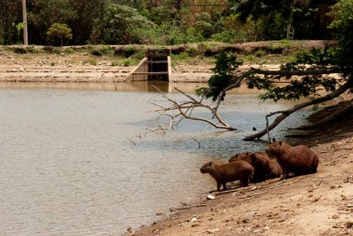Capybaras in Brazilian Reservoir