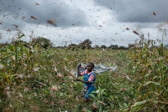 Locusts in Kenya, Jan 2020