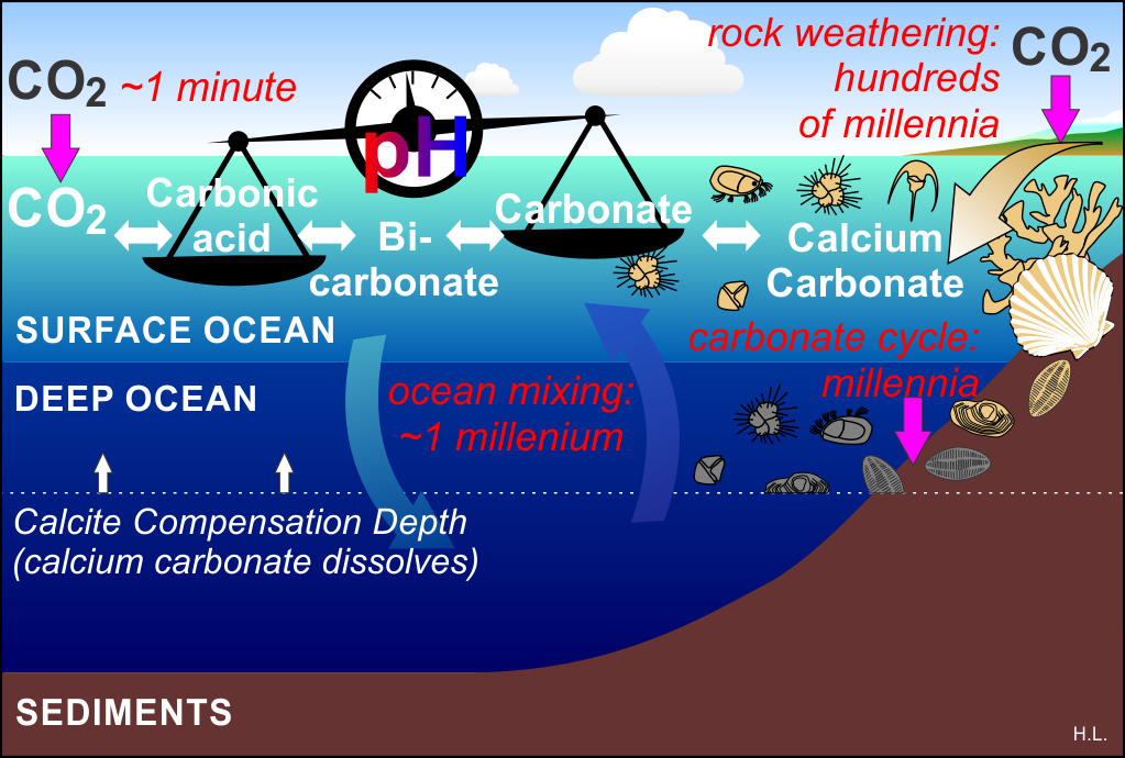 Rates of main ocean carbonate processes