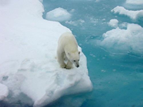 Plar Bear on Ice Flow