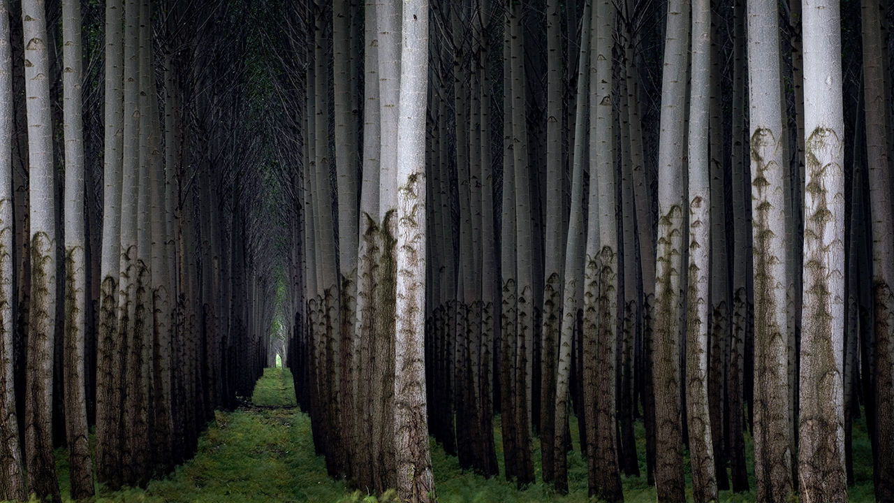 Poplar Tree Plantation in Oregon