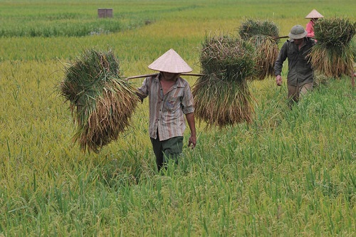 Harvesting rice in Viet Nam