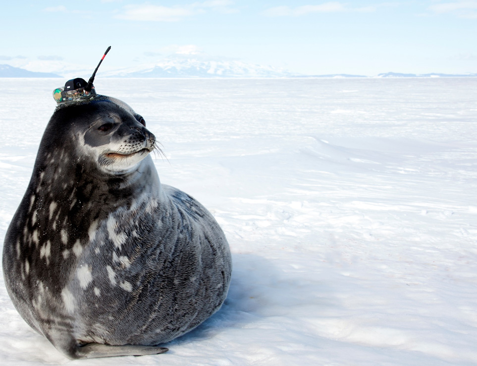 Weddell_Seal_DanCosta