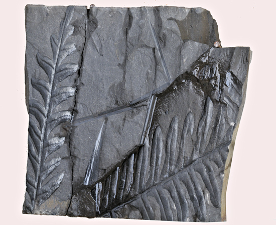 Fossilised Carboniferous ferns